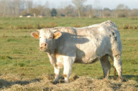 03 Agriculture vache